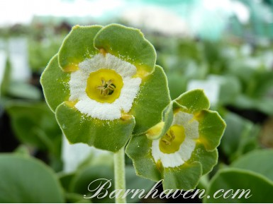 Show Fancy auricula GREENPEACE