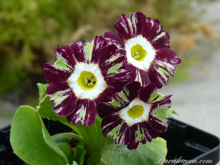 Striped auricula TAY TIGER