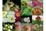 Enthusiast's primula plant collection