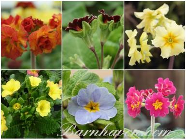 Primula insolites - Collection de plantes