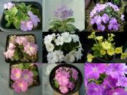 Primula allionii and Primula marginata - Seed selection