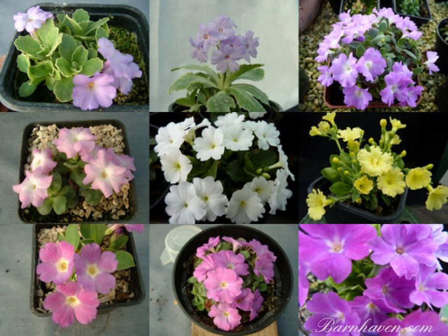 Alpine primrose seeds
