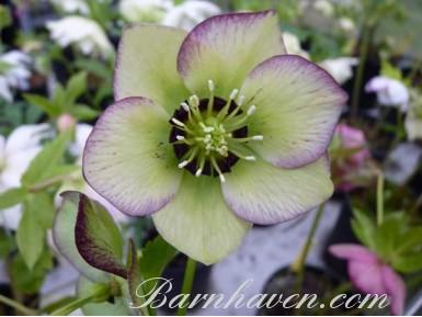 Helleborus x hybridus 'Barnhaven hybrids' Picotee with dark nectaries