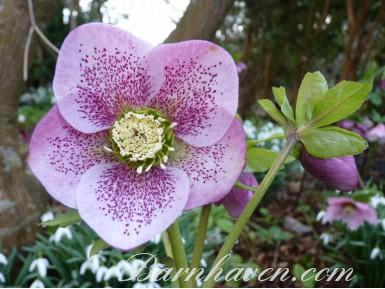 Helleborus x hybridus 'Hybrides de Barnhaven' - Rose Simple