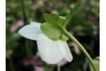Cream and white Helleborus seed