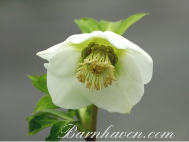 Helleborus x hybridus 'Barnhaven Hybrids' Single White and Cream Shades