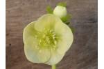 Yellow hellebore seed