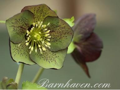 Helleborus x hybridus 'Barnhaven hybrids' Single Red and Green Shades