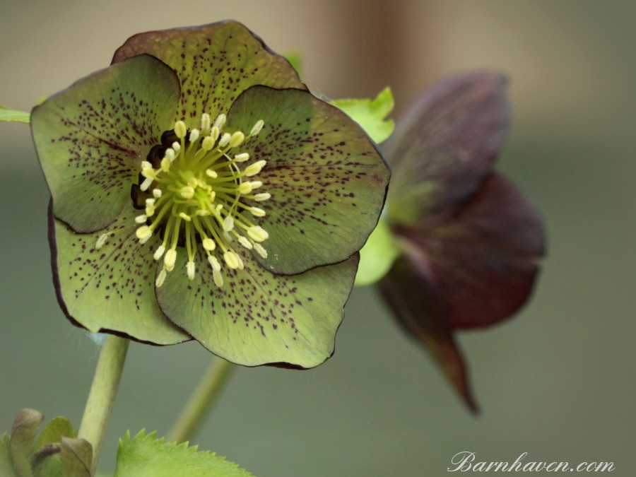 Red and green hellebore