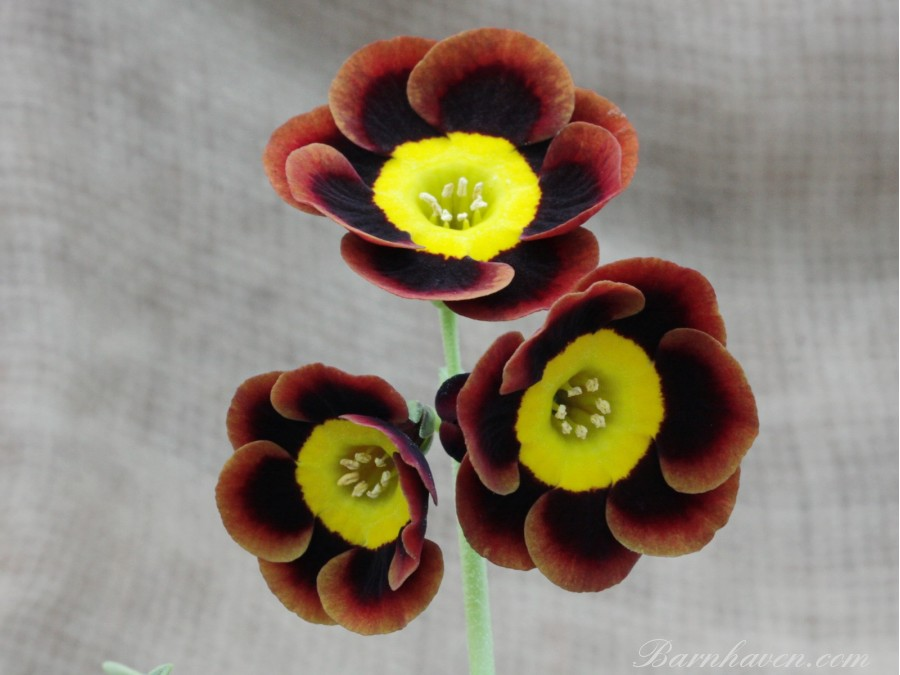 Alpine auricula JOE PERKS
