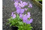 Primula munroi subsp.yargonensis