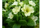 Primula JACK IN THE GREEN - Creams