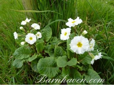 Primula CLARISSA WHITE