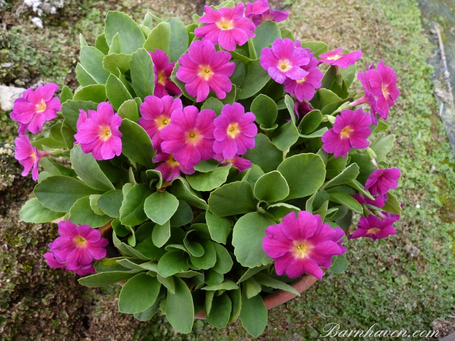 Primula OLD RED DUSTY MILLER HYBRIDE