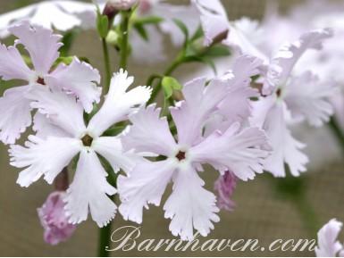 Japanese primrose TAH NI