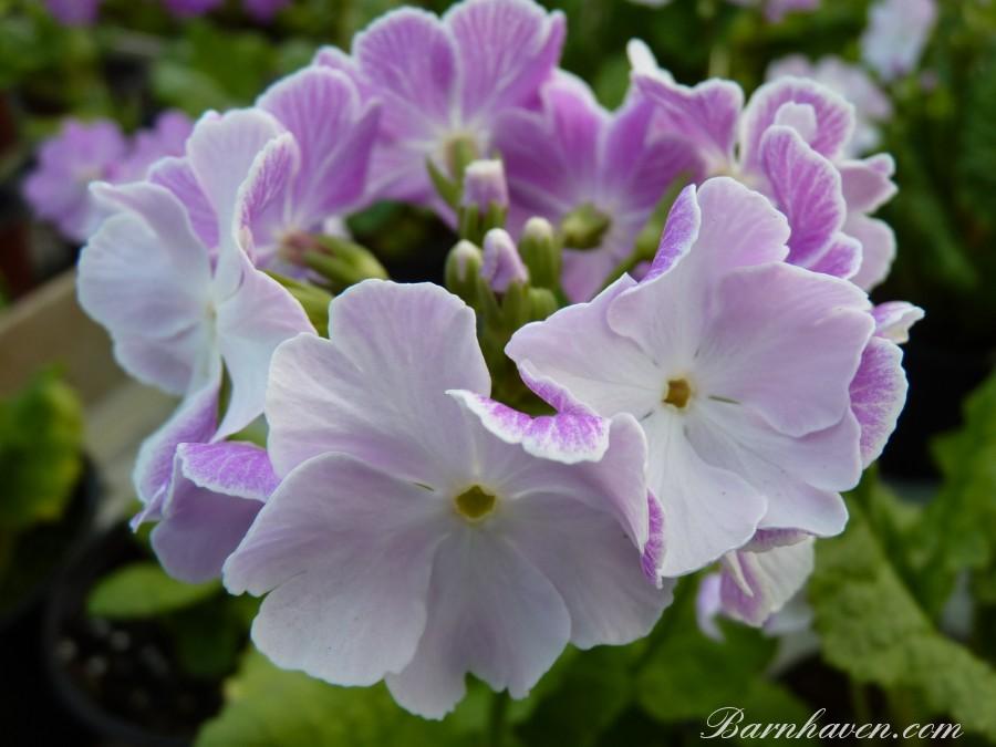 Japanese primrose OLD VIENNA
