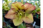 Helleborus x hybridus 'Hybrides de Barnhaven' Abricot