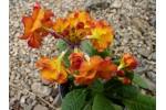 Primula HOSE IN HOSE - Orange/Coral