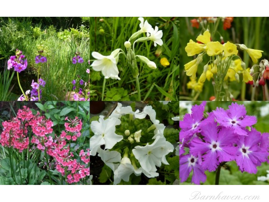 ASIATICS - Plant collection