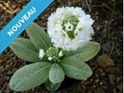 Primula denticulata - blanc