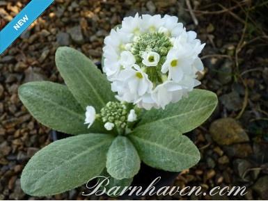 Primula denticulata - white