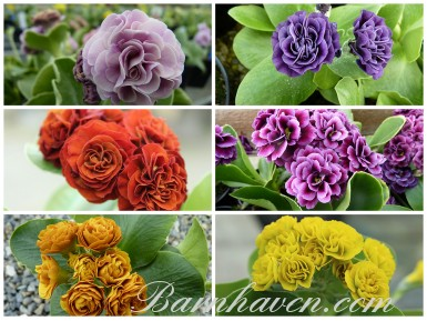 NAMED DOUBLE AURICULAS Plant collection