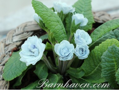 Primula BLUE ICE