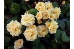 Double primrose GUERNSEY CREAM