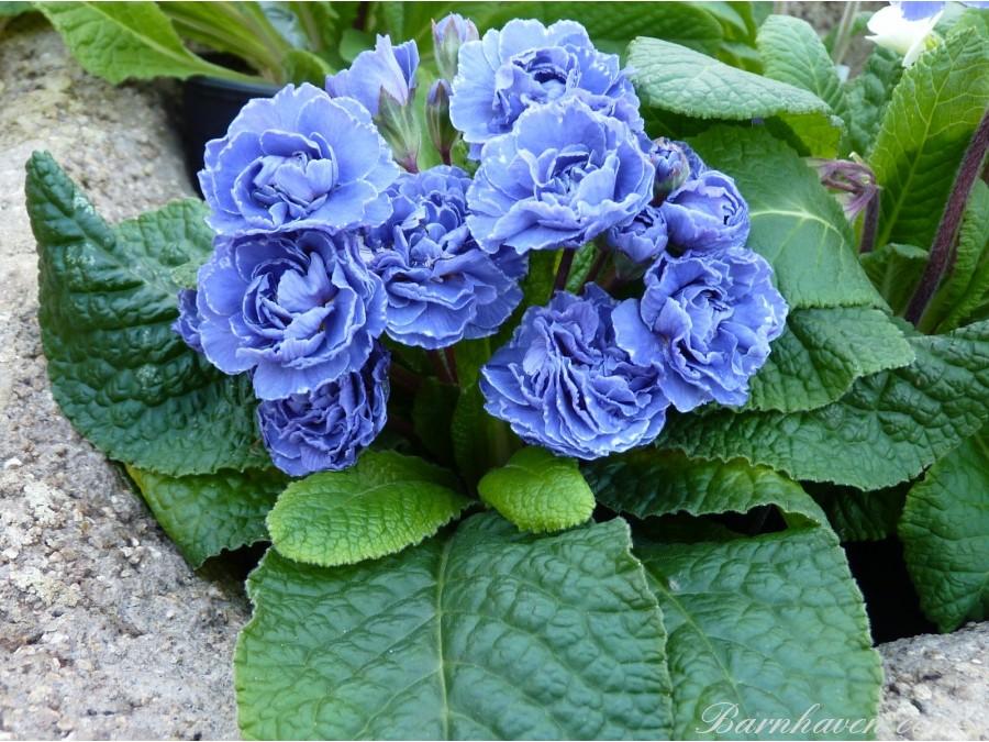 Double primrose BLUE SAPPHIRE