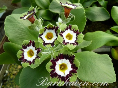 Fancy auricula ELLIE MAY