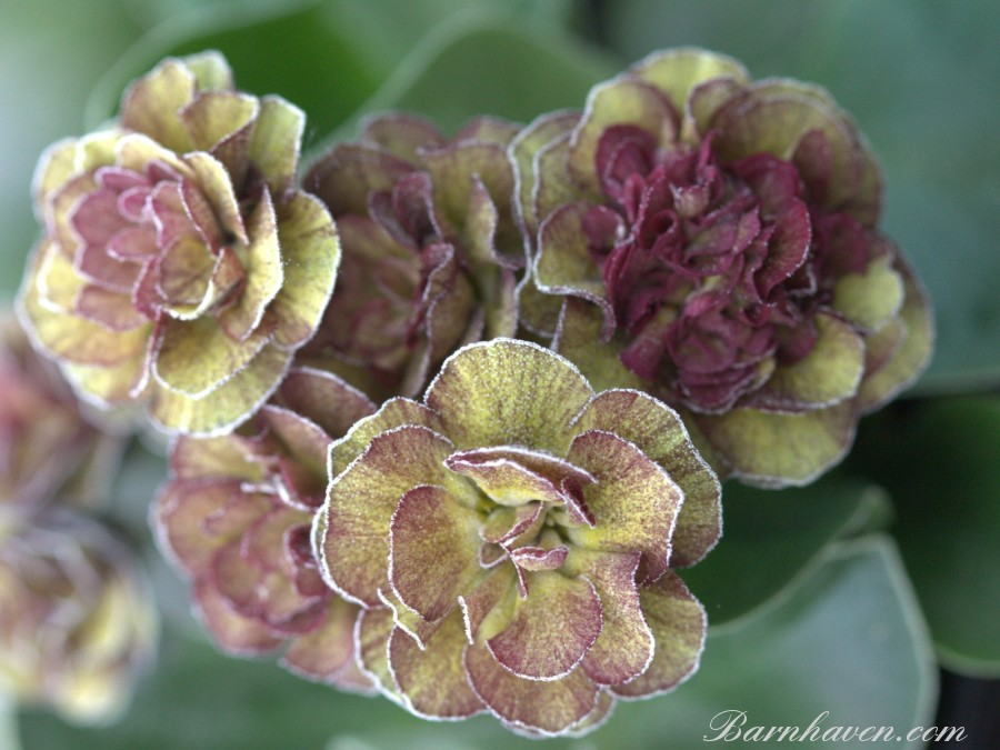 Double auricula LINCOLN MELODY