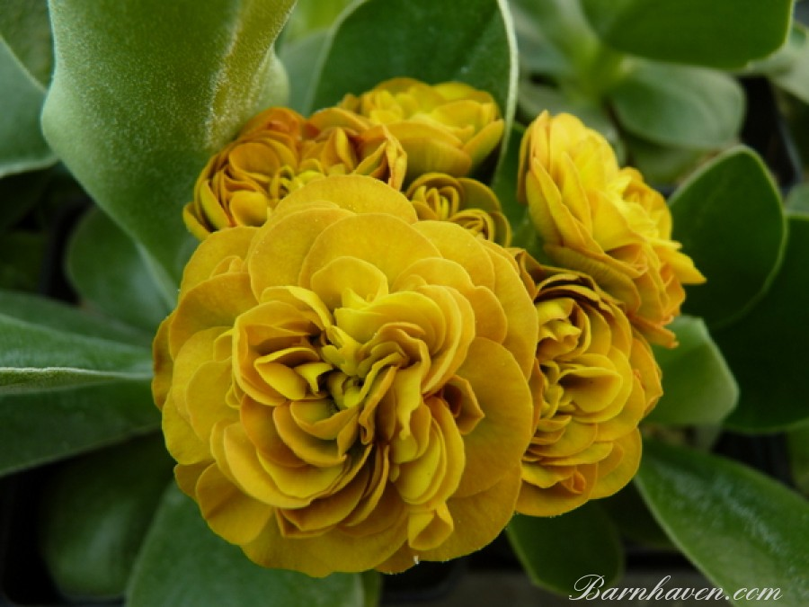 Double auricula COLONEL MUSTARD