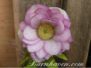 Helleborus x hybridus 'Barnhaven hybrids' Double Pink Shades