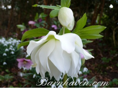 Helleborus x hybridus 'Barnhaven hybrids'  Double White and Cream Shades