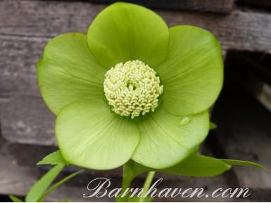 Helleborus x hybridus 'Barnhaven hybrids' Single Green shades
