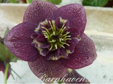 Helleborus x hybridus 'Barnhaven hybrids' Anemone Centre Dark Shades