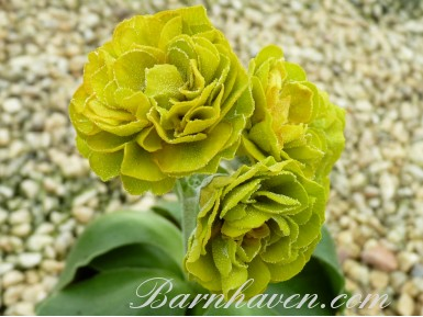 Double auricula PICCALILLI