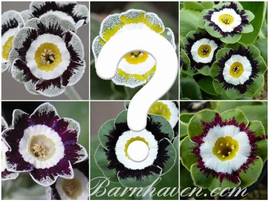 EDGES AND FANCIES AURICULA - Seed