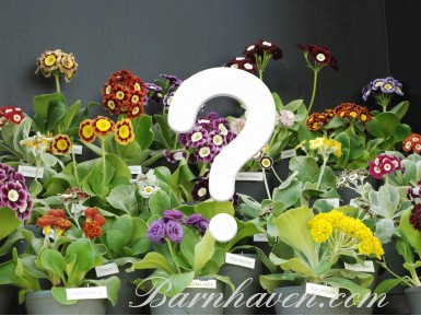 SHOW & ALPINE AURICULAS - Open pollinated seed mix