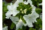 Seed Japanese primrose PALE MOON
