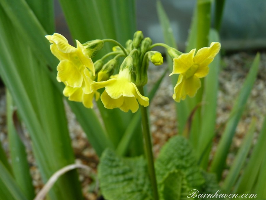 Primula serratifolia