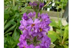 Primevère candélabre 'Violet Oriental'