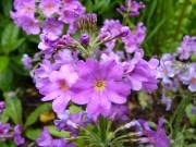 Primula japonica 'Violet Oriental'