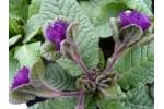 Primula  JACK IN THE GREEN Purple