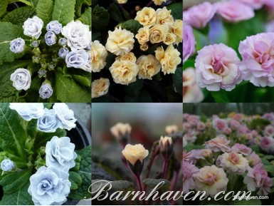 BARNHAVEN DOUBLES Special plant collection