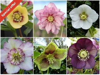 HELLEBORE HYBRIDS Open-pollinated plant collection