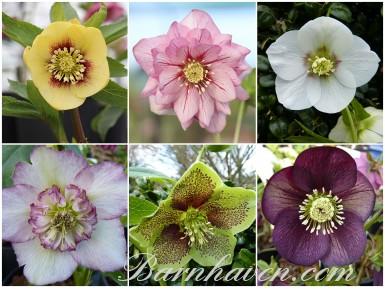 HELLEBORES collection de plantes - Pollinisation naturelle