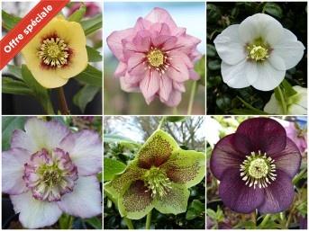 HYBRIDES HELLEBORES collection de plantes - Pollinisation naturelle