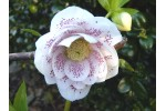 Helleborus x hybridus 'Barnhaven Hybrids' White Spotted Doubles