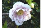 Helleborus x hybridus 'Hybrides de Barnhaven' Série Blanche double guttatus
